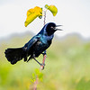 Boat-tail Grackle Calling    Green Cay 2/27/17