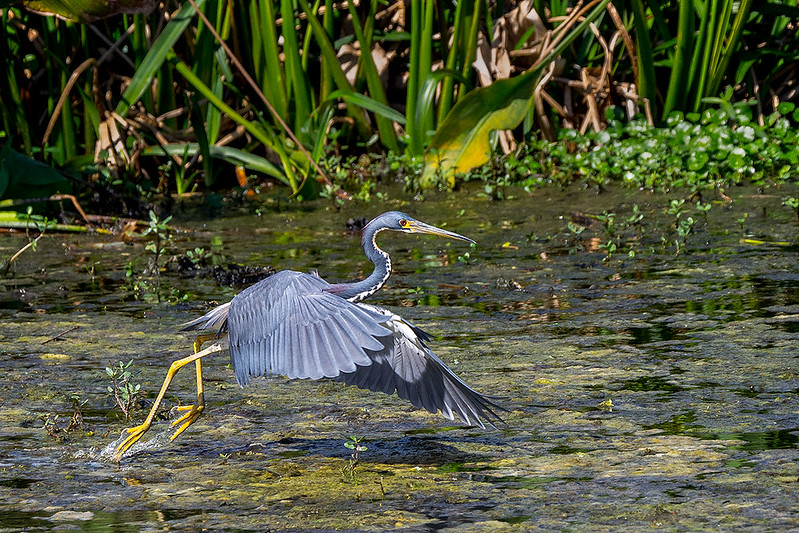 Tri-color Heron taking Off