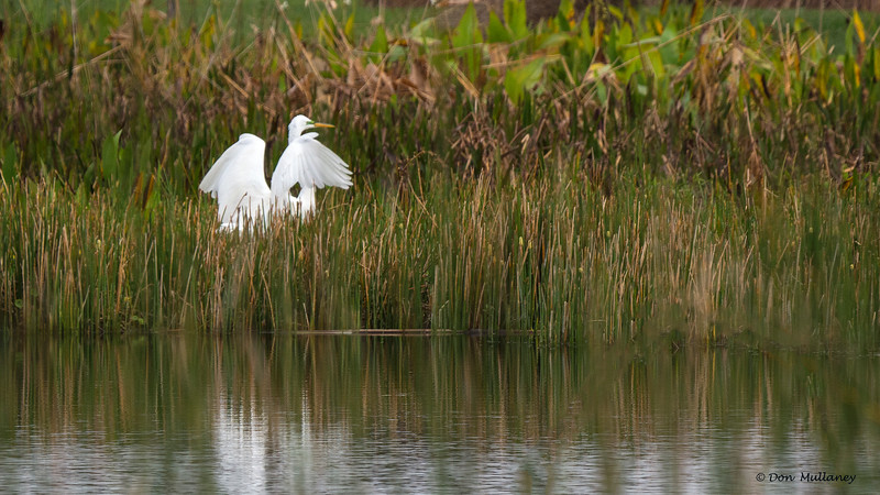 Great Egret landing in reeds.