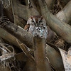 Eastern Screech Owl - Green Cay 3-24-17