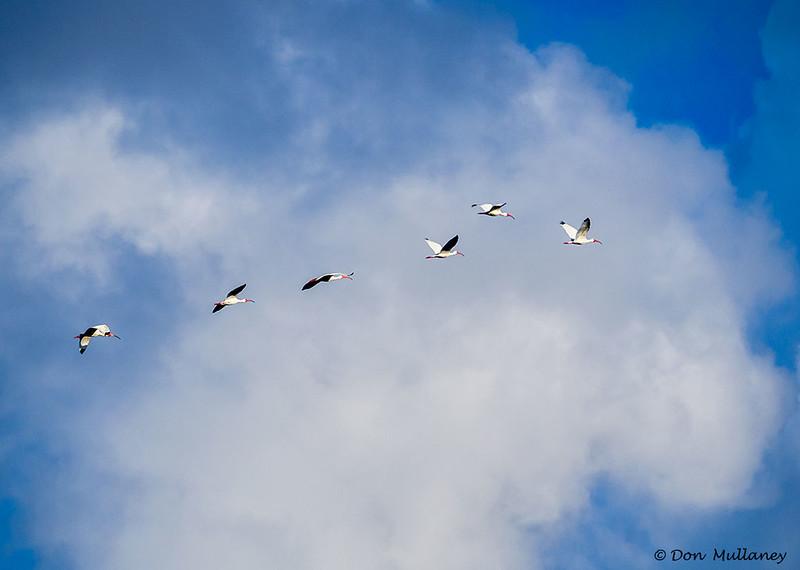 High Flying White Ibis