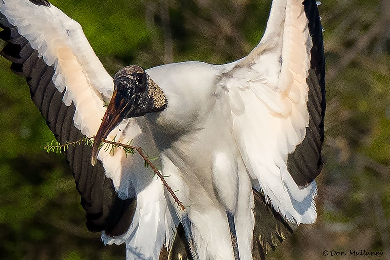 Wood Stork with nesting material