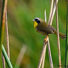 A male Common Yellow-throat