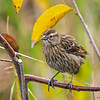 A female Red-winged Blackbird.
