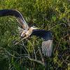 Great Blue Heron banking