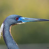 Tri-colored Heron profile