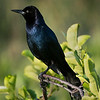 Boat-tail Grackle