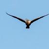 Female Anhinga in Flight
