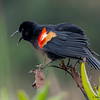 A male Red-winged Blackbird calling
