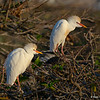 A Breeding pair of Cattle Egrets