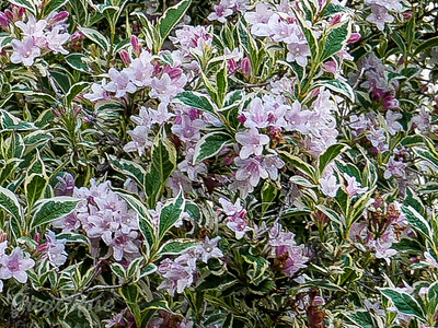 "Weigelia "" appleblossom"""