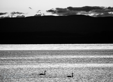 Black Swans in the evening light