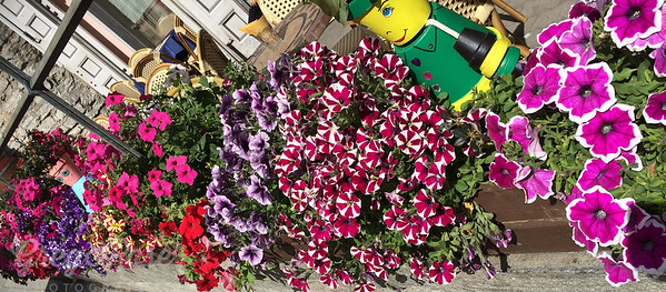 L is for Lots of different Pansy