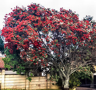 Red Pohutukawa Everywhere