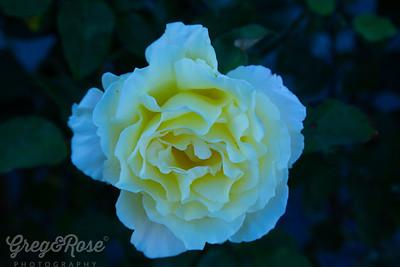 Canellia white yellow and cream