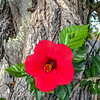 Hibiscus and Tree Trunk