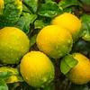 Lemons in abundance