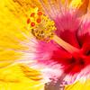 Hibiscus up close