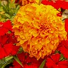 Marigold and Dianthus