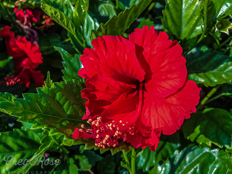Red Hibiscus on a walk