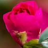 Budding Camellia