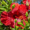 Red Hibiscus and buds