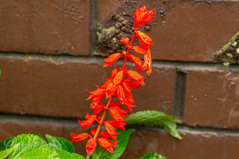 Salvia and rain drops