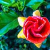 Emerging Hibiscus