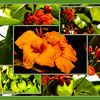 Canna Lilly, Scarlet Runner beans and tomatoes