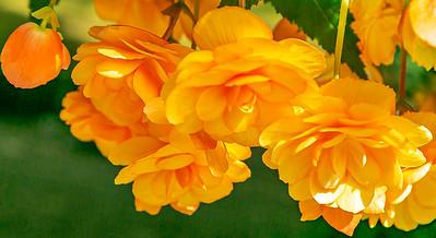 Beauty of Begonia