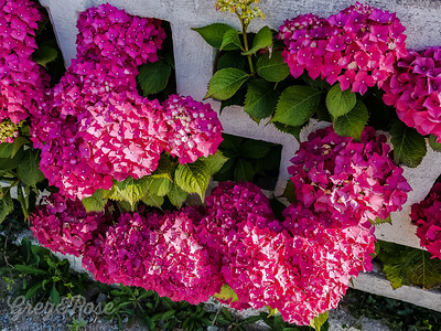 Hydrangea or Ortensia as they are called in Brittany France