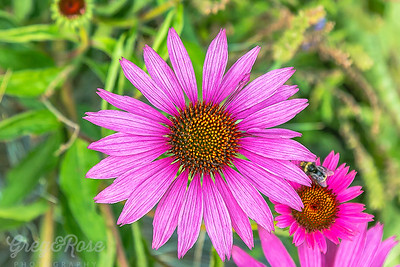 African Daisey Flower