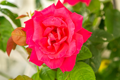 Bright and Gorgeous Rose