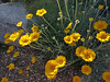 Desert Marigold, California