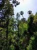 Dawn redwood in center