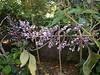 Tropical Lilac, Mexico, Central America