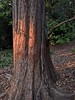 Dawn Redwood in smoky light from Woosley fire