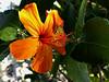 Hibiscus kokio,  naive to  kauai