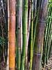 bamboo rain