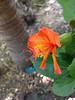 Native Hawaiian hibiscus endangered