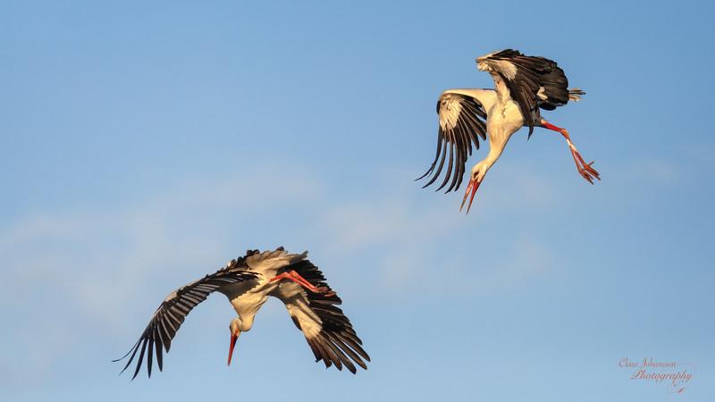 Stork Fight