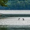Lake Francis Loons