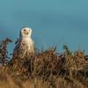 Snowy Owl,Hampton,dusk