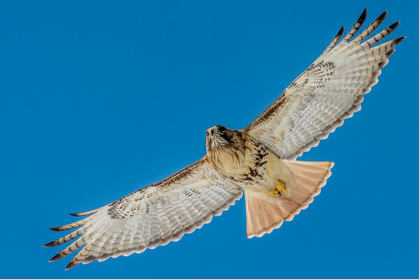 red tail soaring