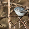 Blue-gray Gnatcatcher (female)