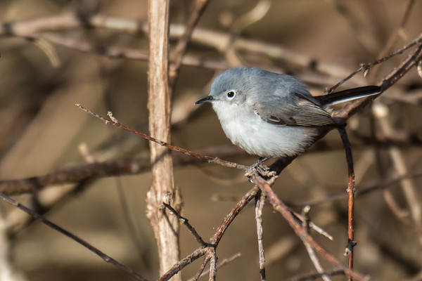 Blue-gray Gnatcatcher (female)