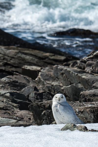 Snowy Owl, Biddeford Me