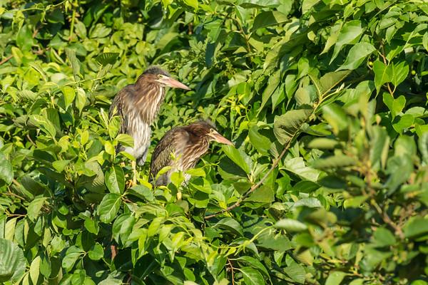 Green Heron fledlings
