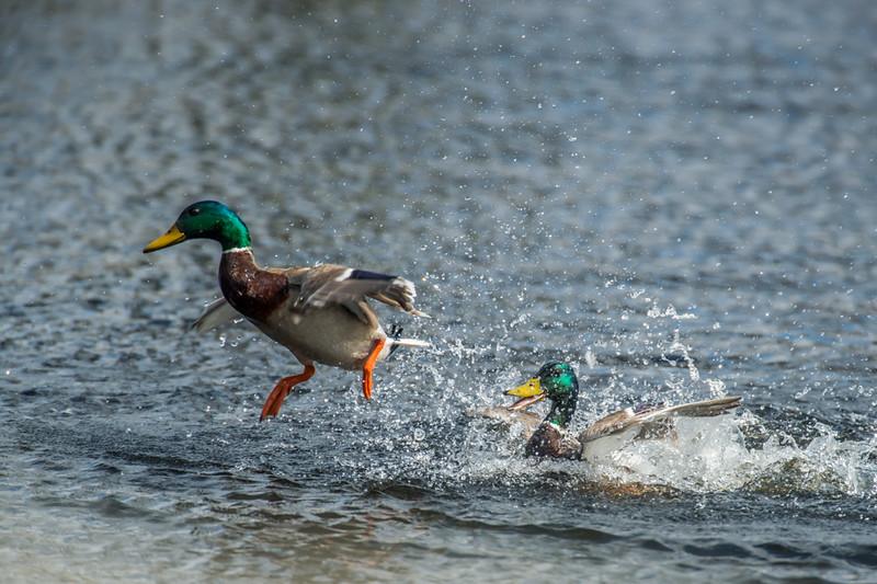 Mallards fighting