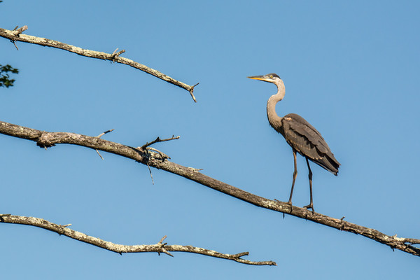 GBH up a tree